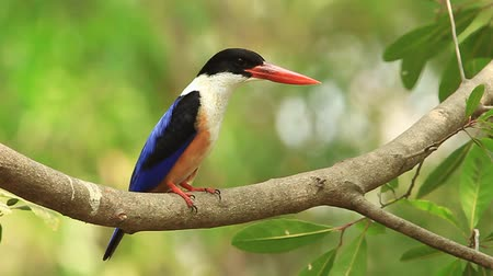 király :  Black-capped Kingfisher (Halcyon pileata) in nature of Thailand
