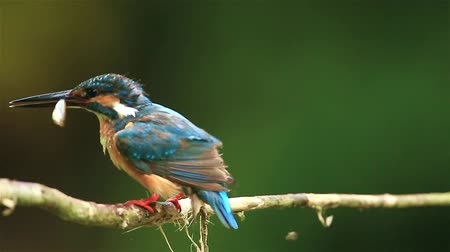 av : Common Kingfisher got the fish in nature of Thailand