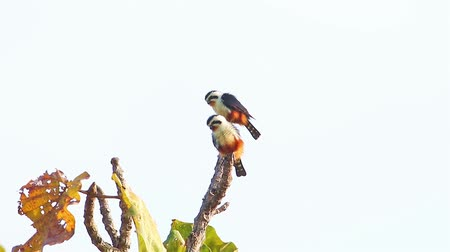 rump : Couple of Collared Falconet (Microhierax caerulescens) sunbathe on the branch in nature at Doi Intanon national park,Thailand