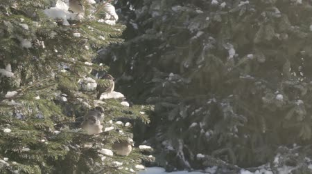 Sparrows in the fir forest