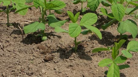 соя : Soybean cultivation at garden, June