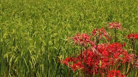 equinox : Higambana, Heshore Flowers and Paddy Fields