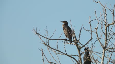 ramo : Great cormorant sitting on a branch