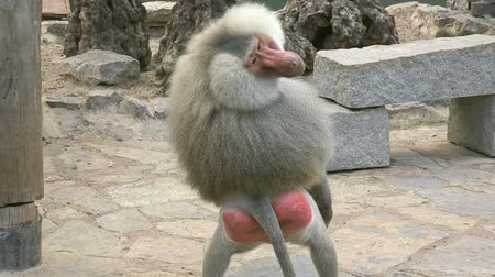 ameaça : Male baboon is angry and threatens