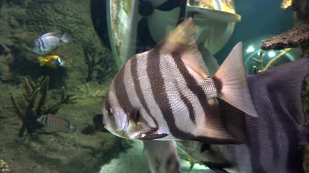 tanımlayıcı : Underwater. Exotic striped fish in the aquarium, 4K video Stok Video