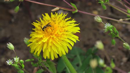 beporzás : Bee on a yellow dandelion, closeup, 4K