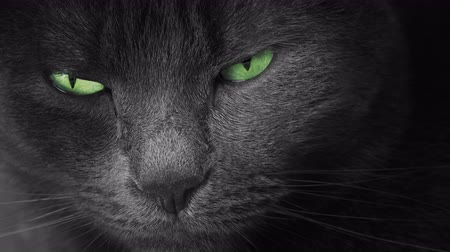 grey eyes : Portrait of black cat with green eyes, close up Stock Footage