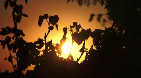 iluminado para trás : Beautiful nature sunset background. Tree branches with backlight of the sun. Closeup, Full HD 1080p