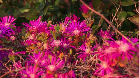 pink background : Spring blooms. Bright purple flowers (Lampranthus spectabilis) closeup Stock Footage