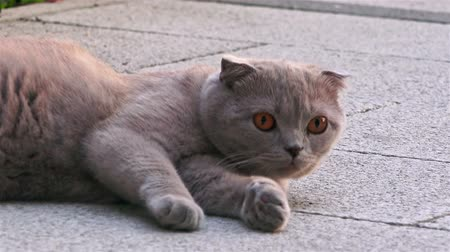fofinho : Funny persian gray cat with orange eyes