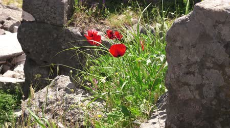 акрополь : Pergamon in springtime, cloaeup flowers among ruins,  Bergama, Turkey
