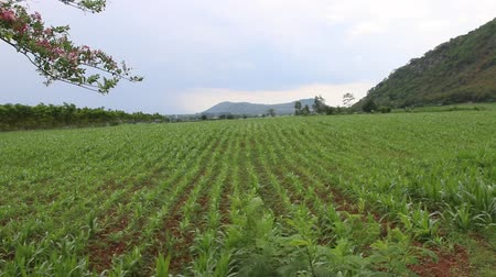tapioca : Planting cassava plantation It is very popular in rural areas. The plant is easily grown Do not require much water A cash crop export.