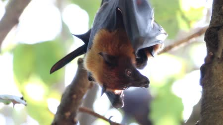 лиса : The bat is in the mammal. There is a small body with wings fly. Bats are the second largest mammal. Стоковые видеозаписи