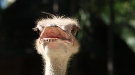 pštros : Ostrich Scientific Name: Struthio camelus are classified as vertebrates. A bird that is the largest in the world. Originated in Africa Dostupné videozáznamy