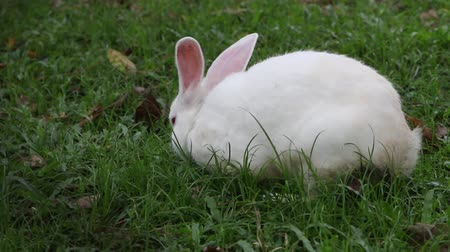 coelho : Rabbit is a mammal that is small. A furry tail around the body with short rounded ears are long compared to other animals. This evolution used for voice as well. The senses of smell very good.