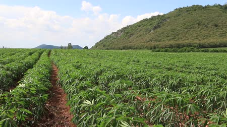 farm in brazil : Planting cassava plantation It is very popular in rural areas. The plant is easily grown Do not require much water A cash crop export.