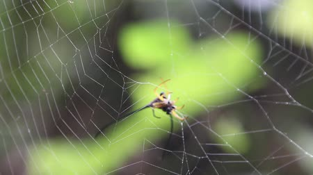 araneae : Spider is a creature that arthropods As well as insects, millipedes, crabs, etc. rated Araneae Stock Footage
