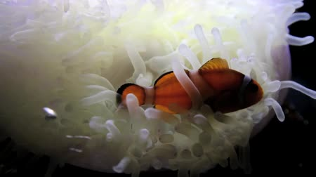 palyaço : Bony fish are small fish that live in the sea. Held in the subfamily Amphiprioninae In pomacentridae Stok Video
