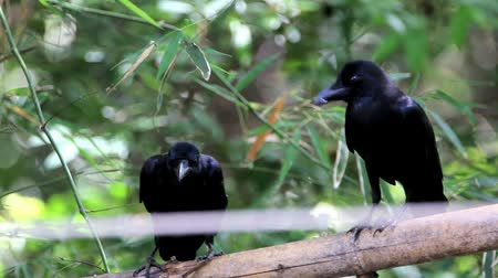 corvus frugilegus : Raven or crow classified in the phylum chordate layer poultry bird species in the genus Corvus in the Corvidae Corvidae. Distribution of species around the world.
