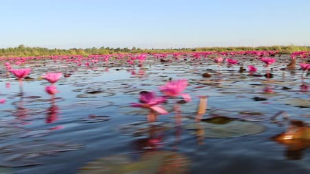 compares : Lotus water plants are considered a symbol of pure and virtuous Buddhist. Buddha compares the human intellect with the growth of the lotus. Stock Footage