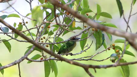 coppersmith barbet : Barbet is a medium-sized bird in the family Megalaimidae rated Woodpecker Barbet look big, thick beak. Hairy mouth and sing loudly to hear it. Stock Footage