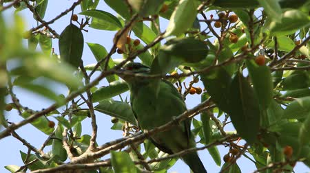 asian barbet : Barbet is a medium-sized bird in the family Megalaimidae rated Woodpecker Barbet look big, thick beak. Hairy mouth and sing loudly to hear it. Stock Footage