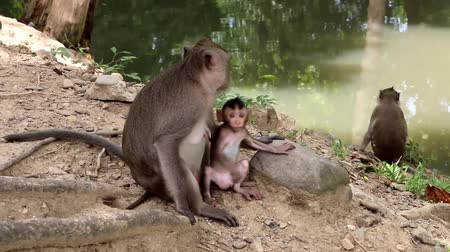 guangxi : Monkey or ape is the common name of the chordate phylum. Floor mammal Rated apes (Primates) manner similar to humans.