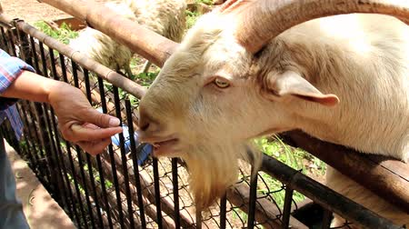 subspecies : The goat is a subspecies of goat domesticated from the wild goat, which brought in southwest Asia and Eastern Europe. Goats in Bovidae Genus