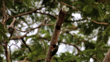asian barbet : Asian barbet Nest in tree holes With wood drills a hole like a woodpecker. The birds of the same rank The cavity of Barbet will fit, making access to the nest, maybe not as much as a woodpecker. Stock Footage