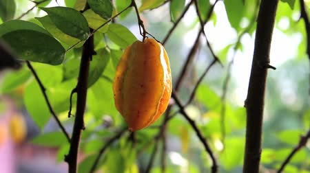 egres : Carambola tree is a native of Indonesia, India and Sri Lanka and is popular in Southeast Asia Stock mozgókép