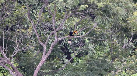 remek : Hornbills in the wild are birds that are now extinct Stock mozgókép