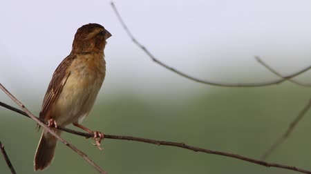 babbler : Finch is a small bird Orthotomus currency. From mouth to tail length of 12 cm together some small mouth, long legs taper.