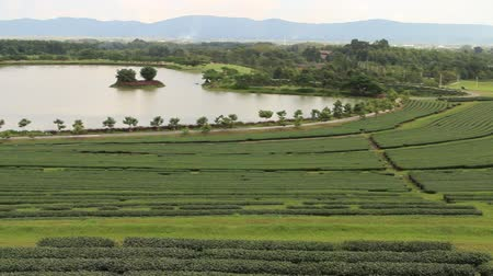 tea plantation : Tea is the agricultural output of the leaves and stems of the tea shoots. Bring to boil tea or hot water. Tea is the most consumed beverages are second in the world after page.