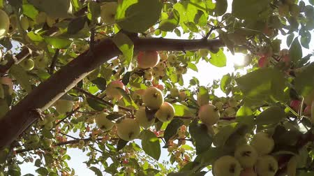 dal : Branch of Green Apple tree full of red apples