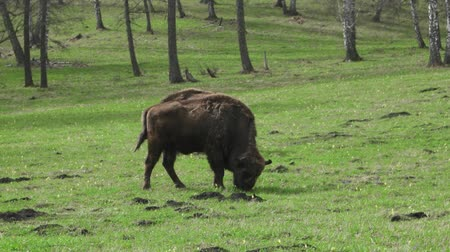 population explosion : Aurochs is close to bison bull. Population explosion.