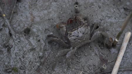 terrestre : crab crawls on the grey colour mud in salt marsh near estuary. Stock Footage