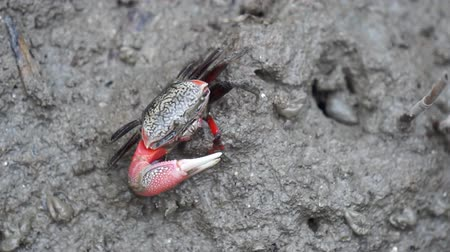 muck : Black crab with one big red claw is eating planktons in the grey colour mud in salt marsh near estuary.