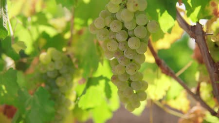 A bunch of grapes, white grapes on a vine.Ripe Grapes On The Vine For Making White Wine