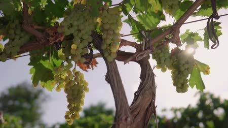 cachos : The vineyard, the vine, the bunches of white grapes, the glare of the sun make its way through the foliage of the vineyard