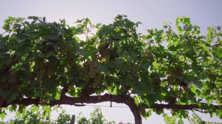 The vineyard, the vine, the bunches of white grapes, the glare of the sun make its way through the vineyard foliage, the field of grapes Stock mozgókép