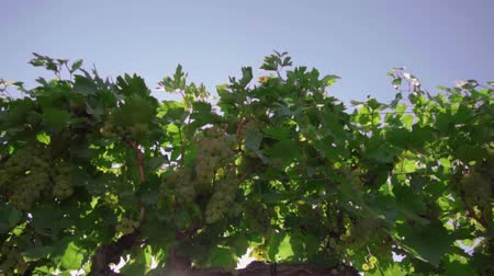 cachos : The vineyard, the vine, the bunches of white grapes, the glare of the sun make its way through the vineyard foliage, the field of grapes Vídeos