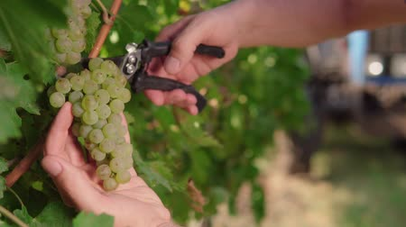 Ripe grapes on a vine for the preparation of white wine cut a bunch of wine, the hands of a man. Mens hands cut a brush of grapes