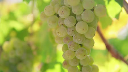 toskánský : A bunch of grapes, white grapes on a vine.Ripe Grapes On The Vine For Making White Wine