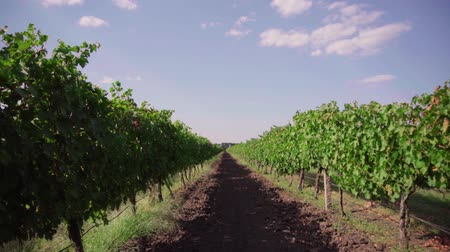 grape field, rows of vineyards Wideo