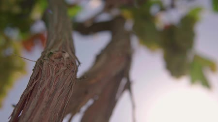 Grape Vine, Vineyard. close up against the sky