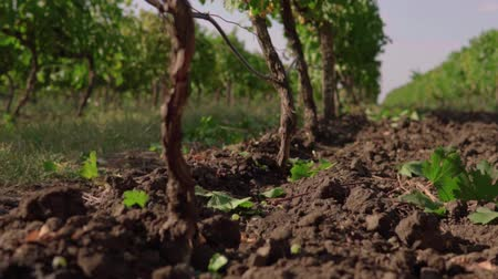 wijnbladeren : grape field, vineyard rows Stockvideo