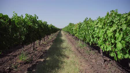 grape field, vineyard rows Wideo