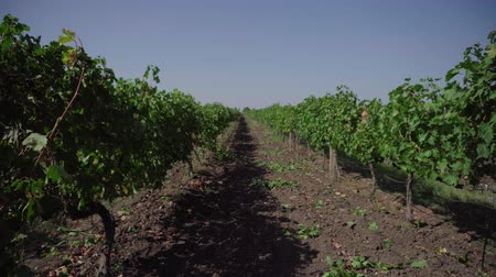 agrarian : grape field, vineyard rows Stock Footage
