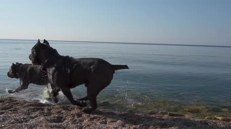 Happy dogs of the breed Cane Corso run along the seashore slow motion