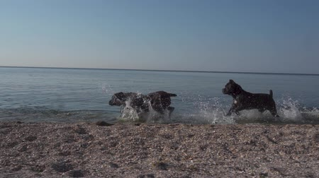 dips : Happy dogs of the breed Cane Corso run along the seashore slow motion